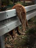 killed fox  (the end)