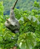 Ancon Hill - Sleeping Sloth