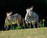 Grevys Zebra