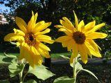 les deux tournesols du jardin