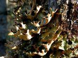 Lichens ou champignons