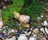 L'escargot de la Barillette