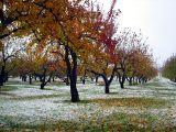 les pommiers et la neige d'automne
