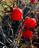 derniers fruits rouges avant la neige