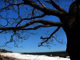l'arbre du st-laurent