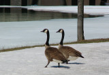 couple d'outardes en promenade