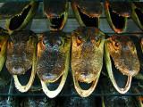 gueules d'alligators