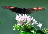 les ailes bien tendues