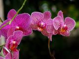 Orchidée tigrée bourgogne
