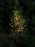 les feuilles orangées
