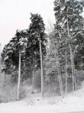 A few trees II