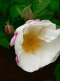 White roses 2007