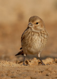 common Linnet.