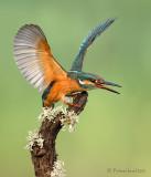 Kingfishers.