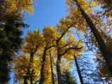 Cottonwoods fall colors in Shackleford Canyon