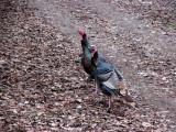 Wild turkeys seen along Hwy96 near Clear Creek
