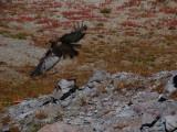 Flighty hawk