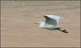 Great White Egret aka Common Egret
