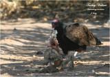 Turkey Vulture devouring carrion