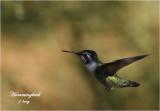 Yuma Hummingbirds