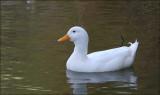 Aylesbury (aka White Campbell) Duck