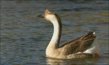 Chinese Geese - Brown