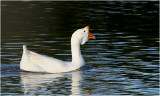 Chinese Geese - White