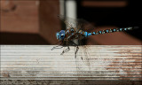 Lance-Tipped Darner (Aeshna constricta) Dragonfly