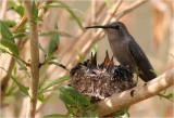 Hummingbird feeding chicks ...