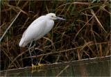 Yuma Sea & Shorebirds
