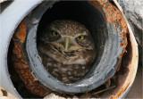 Yuma Owls Nighthawks