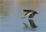 Drake Ring-necked Duck