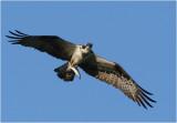 Osprey with prey ...