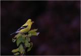 American Goldfinch - male - breeding plumage
