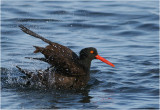 American Black Oystercatcher ablutions