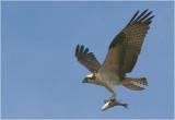 Osprey with prey