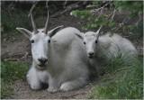 Mountain Goats - Nannie & Kid