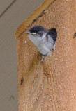 Fledgling Tree Swallow