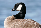 White-cheeked Geese