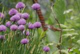 Rufous Hummingbird on Chives