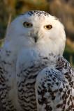 1st April 2007  snowy owl