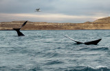 whales at Punta Piramide