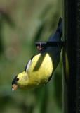 Perching & Songbirds