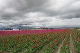 Tulips & Clouds