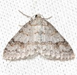 7428 ,Venusta comptaria, Brown-shaded Carpet