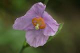 Meconopsis betonicifolia (lavender form)