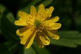 AnemoneSulphureaFloraPlena.jpg