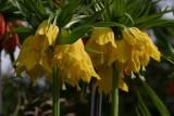 FritillariaImperialYellow.jpg
