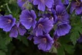 GeraniumIbericum.jpg