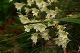 GladiolusTristis.jpg